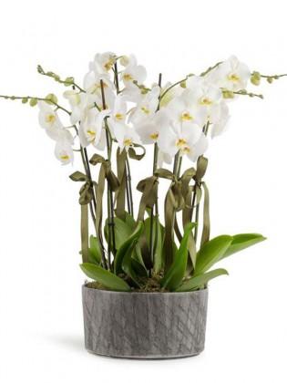 8 Dal Beyaz Orkideler