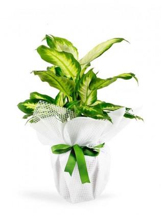 Dieffenbachia Saksı Çiçeği