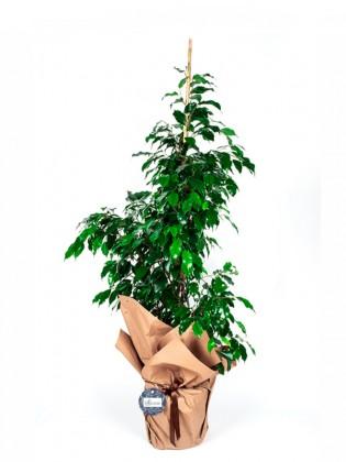 Ficus Benjamin Saksı Çiçeği