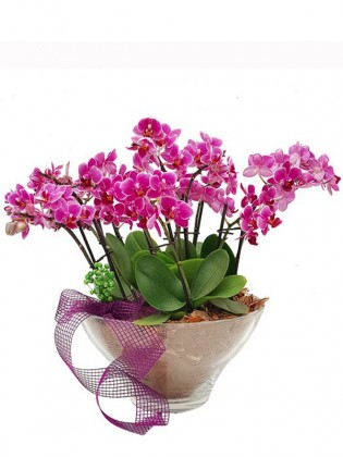 Lal Serisi Mini Phalaenopsis Orkideler