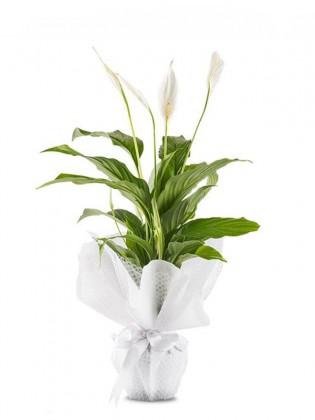 Spatifilyum Çiçeği