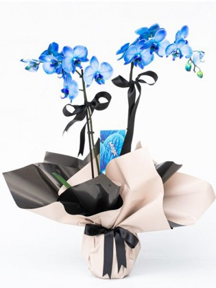 2 Dal Mavi Phalaenopsis Orkide