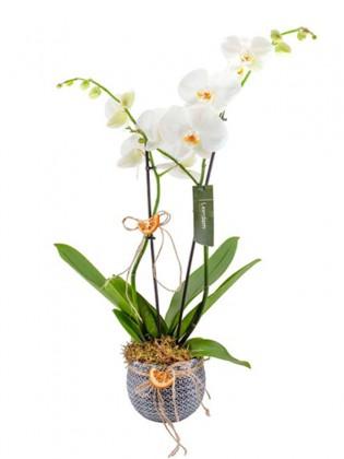 Çift Dal Orkide Tasarımı