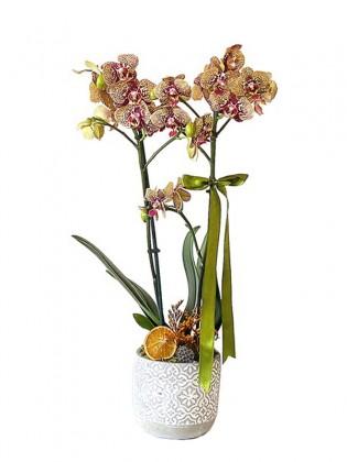 Çift Dallı Özel Renk Orkide
