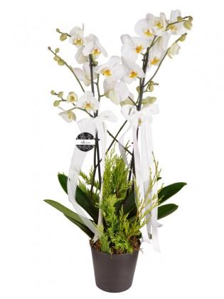 Deluxe Beyaz Orkide