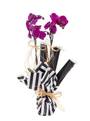 Double Sweet Purple Orkide