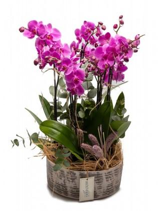 Mor Orkide Bahçesi