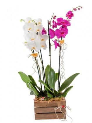 Fuşya Ve Beyaz 4 Dal Orkide