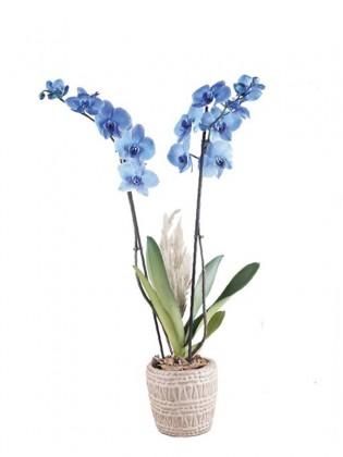 İki Dal Mavi Orkide