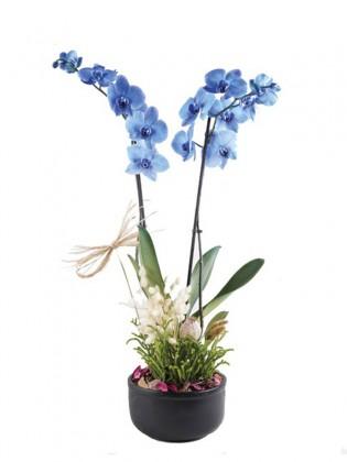 İki Dal Mavi Orkide ve Sukulentler