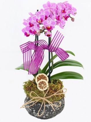 Midi mor orkide