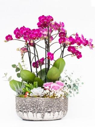 Midi Orkide 5 Dallı Sukulent Serisi