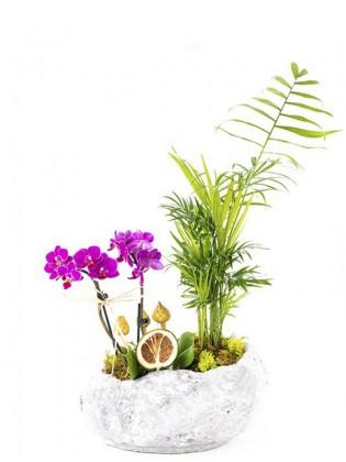 Mini Orkide Şamadora