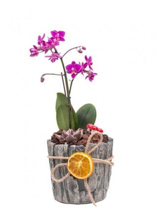 Mini Orkide Ve Sukulent