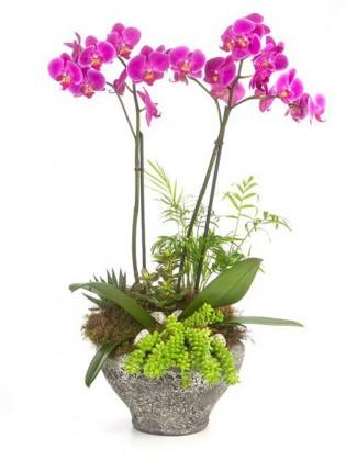 Mor Orkide Ve Sukulent