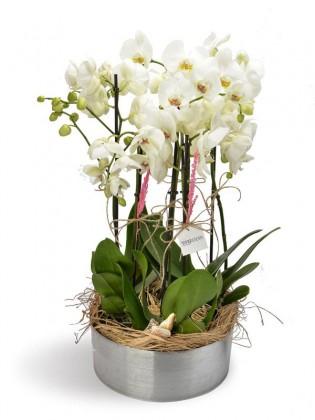 6 Dal Beyaz Orkideler